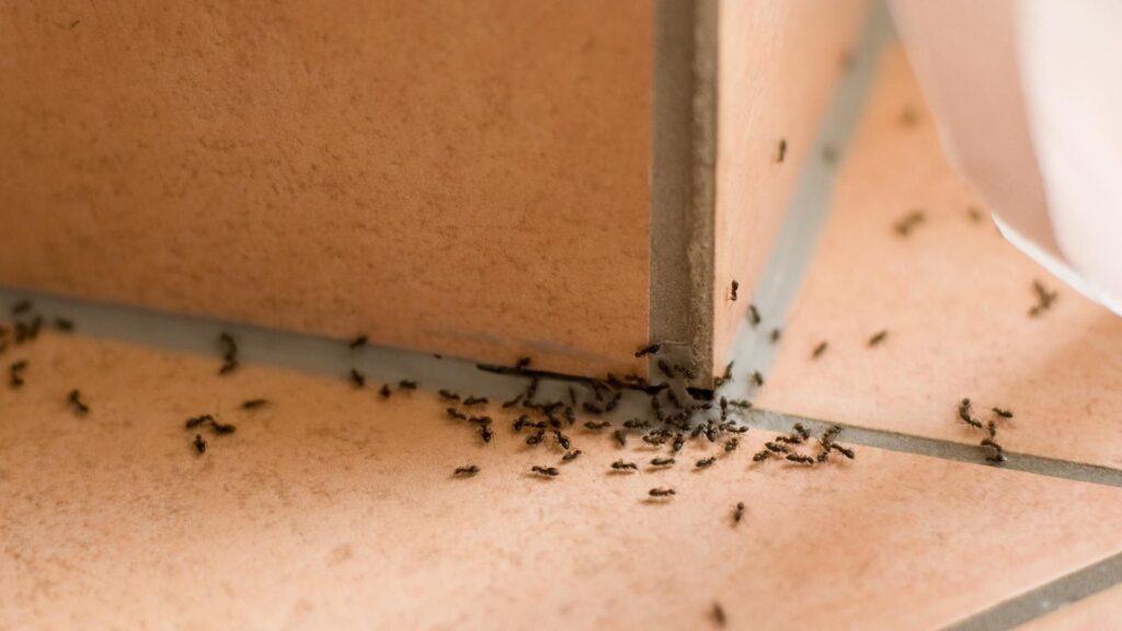 نمل في المنزل