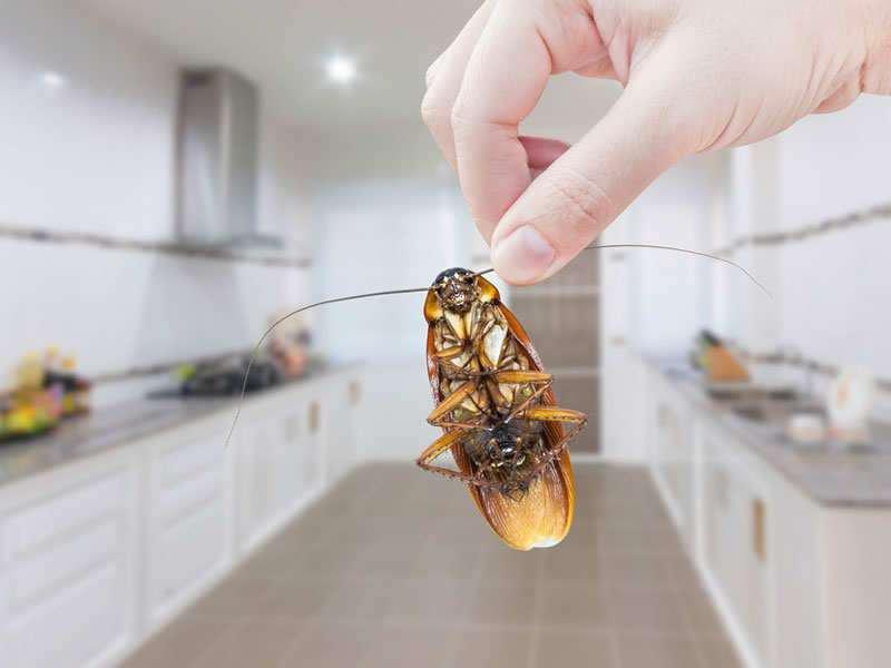 بمكونات طبيعية ،تخلص من الصراصير نهائيا